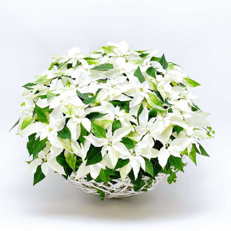 Poinsettia Blanc