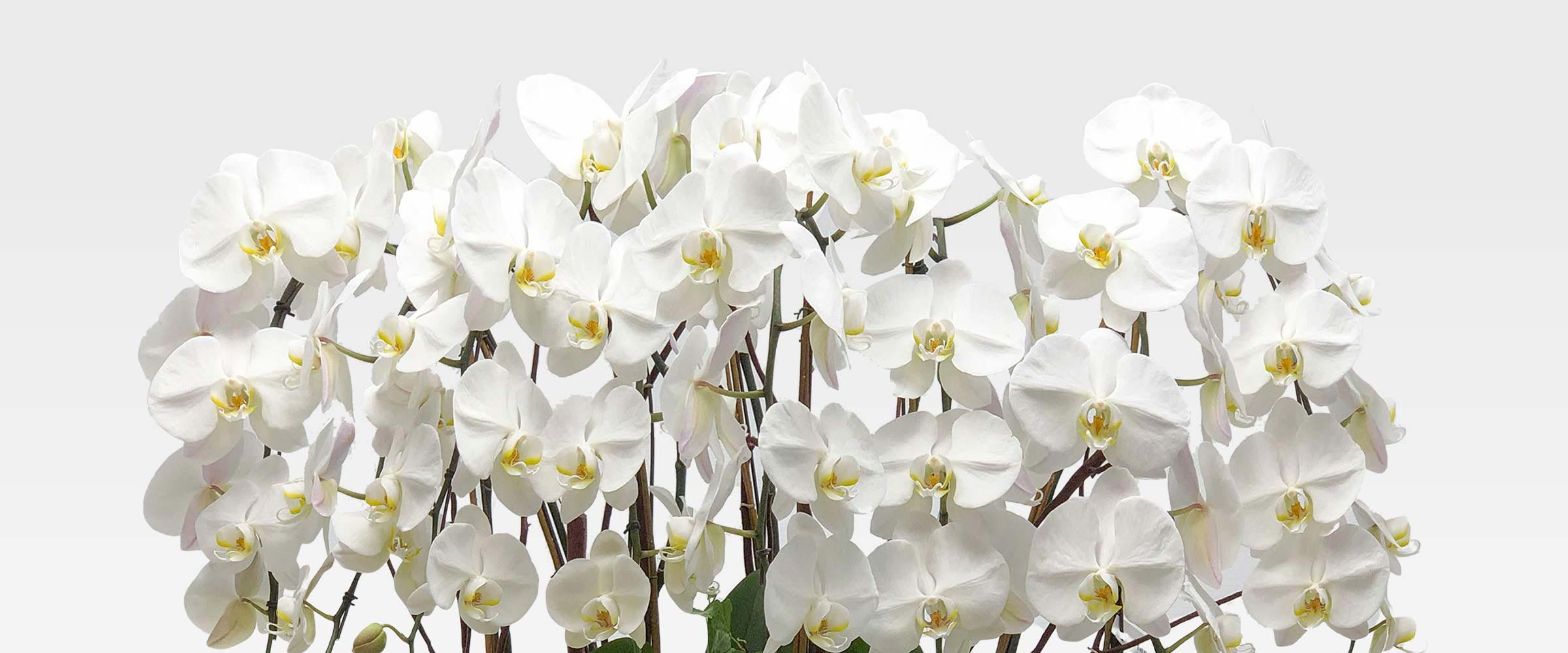 Outstanding composition of premium orchids
